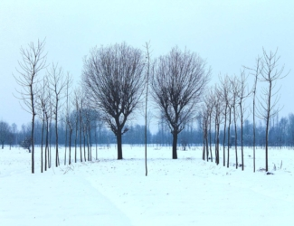 Quiet Trees in Snow
